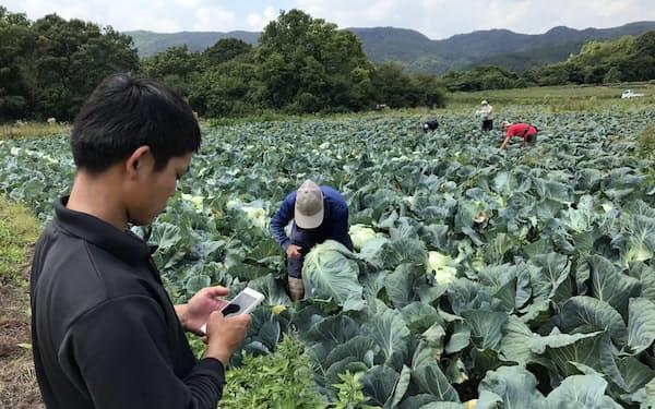 収穫に汗を流す仲間の傍らでスマホに作業データを入力する山内良太さん