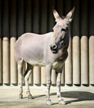 東山動植物園が飼育していた絶滅危惧種のソマリノロバ「サクラ」=2019年2月、名古屋市(同園提供)