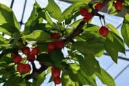 サクランボなどフルーツの返礼品が多い山形県の自治体が上位に(山形市の農園)