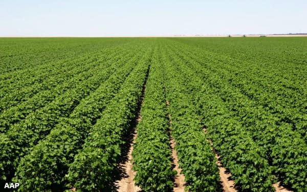 カビ-・ステーションは広大な綿花農場を運営する=AAP
