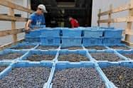 7月の米卸売物価は前月比0.2%上昇した(米メイン州のブルーベリー農場)=AP