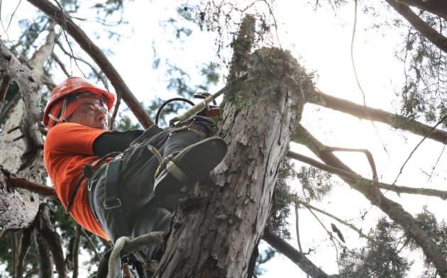 チェーンソーで枝を切り落とす空師の熊倉純一さん(埼玉県飯能市)=小園雅之撮影