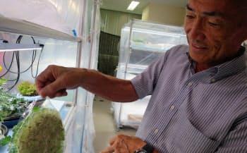 膜の表面に根が張り、膜の下から水分や養分だけを吸い取る(神奈川県平塚市)