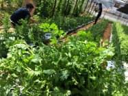 アグリ・ヌーヴが契約する農家が栽培するパクチー(横浜市)