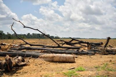 焼き畑により黒焦げになった木(22日、ブラジル北部パラ州)
