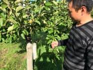 果樹にQRコードを印字した棒をぶら下げる(青森県弘前市のもりやま園)