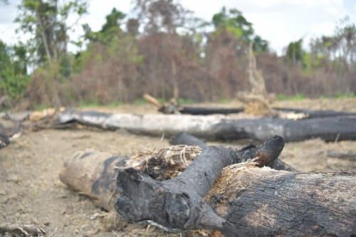 野焼きにより焦げた木(ブラジル北部パラ州)