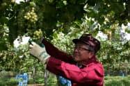 収穫式の後で「リースリング・フォルテ」を収穫する宮下社長(27日、山梨県甲斐市のサントリー登美の丘ワイナリー)