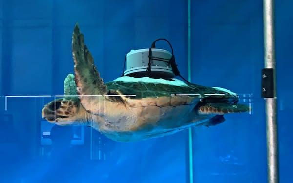 バイオロギングソリューションズの記録計を取り付けたウミガメ。記録計は小型かつ軽量化して生物への影響を最小限に抑えるという(同社提供)