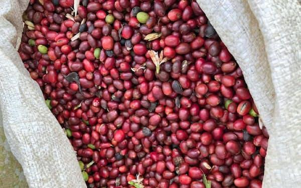 コーヒーは2年連続の豊作が予想されている