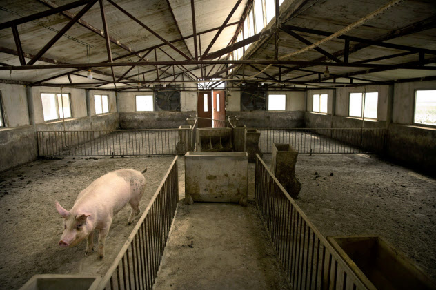 アフリカ豚コレラの感染拡大に見舞われている中国の養豚場(5月)=AP