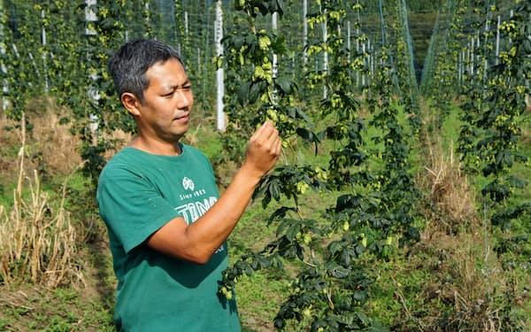 ホップの新品種「ムラカミ・セブン」の収穫期を迎えた(ビア・エクスペリエンスの吉田敦史社長)