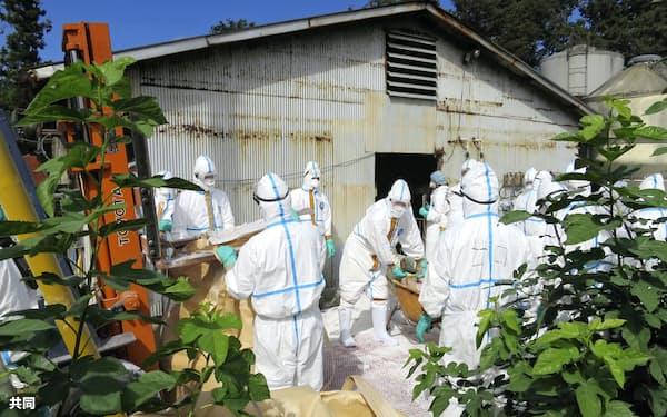 豚コレラに感染した豚が飼育されていた養豚場で行われる殺処分作業(14日午後、埼玉県秩父市)=同県提供・共同