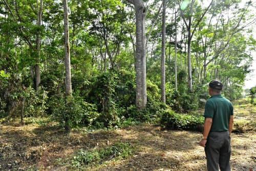 一見、ただの森林に見える高松氏の農場だが様々な作物を平行して植えている(ブラジル北部トメアス)