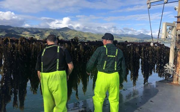 現地では「厄介者」とされるワカメの対日輸出が本格化しそうだ(ニュージーランド)