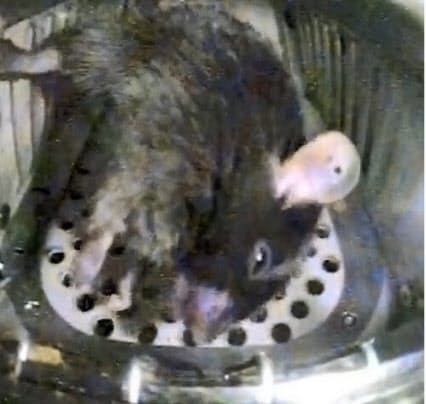「きぼう」まで運ばれ、ほぼ無重力状態で飼育されるマウス(JAXA提供)