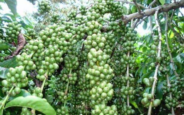 ロブスタ種は病害虫に強く、低地でも栽培可能だ