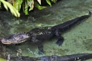 名古屋市の東山動植物園で飼育されていたミシシッピワニの雄「ミッピー」=同園提供・共同