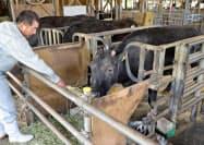 石川県農林総合研究センター畜産試験場で、飼育されるクローン牛の「かが」(中央、2018年6月、石川県宝達志水町)=共同