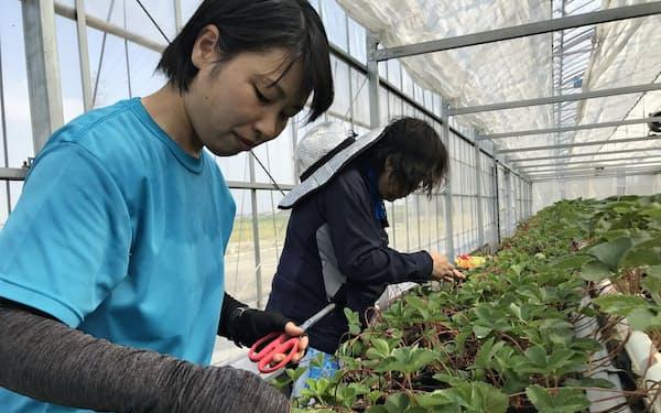 いちごの栽培実習に加え経営学も学べる(岡崎市)