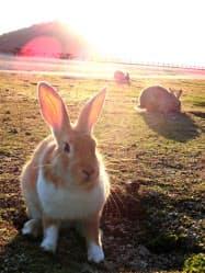 多くのウサギが生息する大久野島(広島県竹原市)