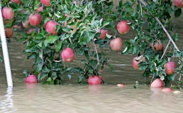 水に漬かったリンゴ(13日、長野市)=共同