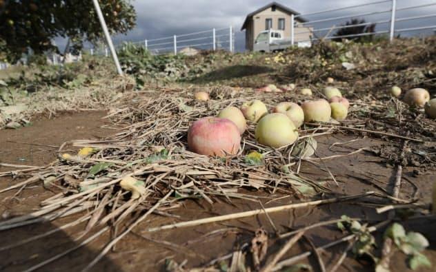 浸水被害を受け、地面に落ちたリンゴ(15日、長野市)
