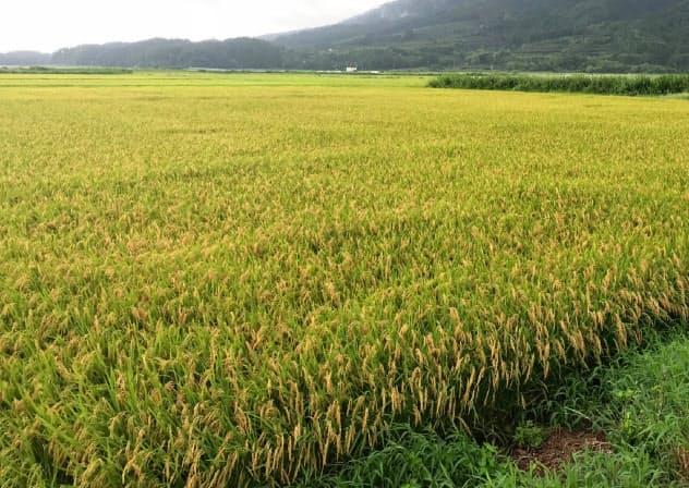 新潟米は高温の影響で品質が悪化した(新潟市)