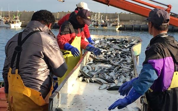 人手で行われる魚の選別は漁業者にとって大きな負担だ