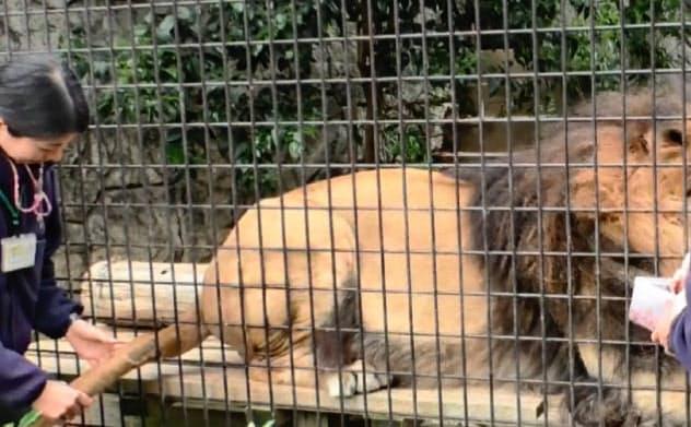 採血などの際に動物に協力してもらうことで、麻酔の必要がなくなる(大牟田市動物園提供)