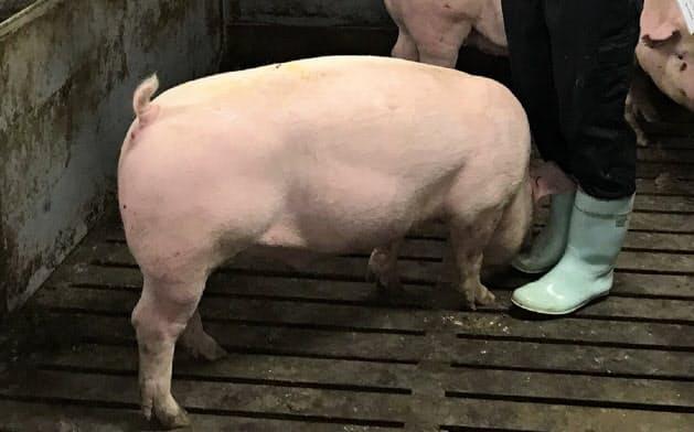 カメラ面を地面と並行にして豚の背中を撮影する
