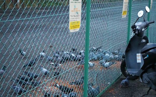 JR我孫子町駅前でばらまかれたエサに群がるハト(10月上旬、大阪市住吉区)