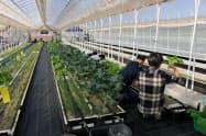 農園では障害者と管理者が協力して農作物を収穫する。