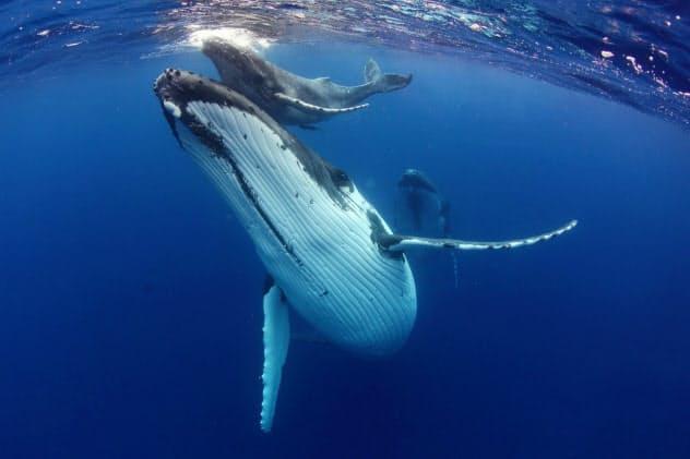 ザトウクジラの母子たち(トンガ・ババウ諸島)