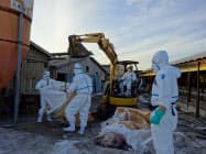 殺処分の現場では過酷な作業が続いている(深谷市の養豚場)