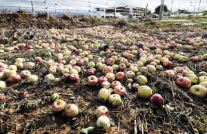 地面に落ちて泥にまみれた収穫前のリンゴ(10月15日、長野市)