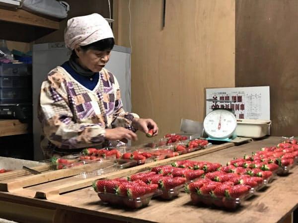 収穫したイチゴは、大きさごとに丁寧にパック詰めされる