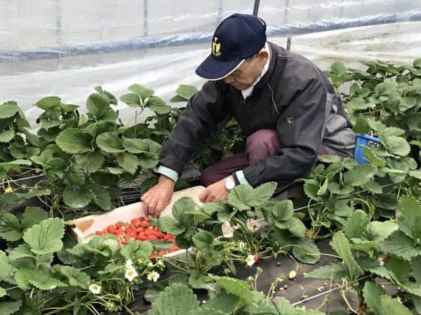 一粒一粒「いちごさん」を収穫する栽培農家の平川さん(15日、佐賀市三瀬)