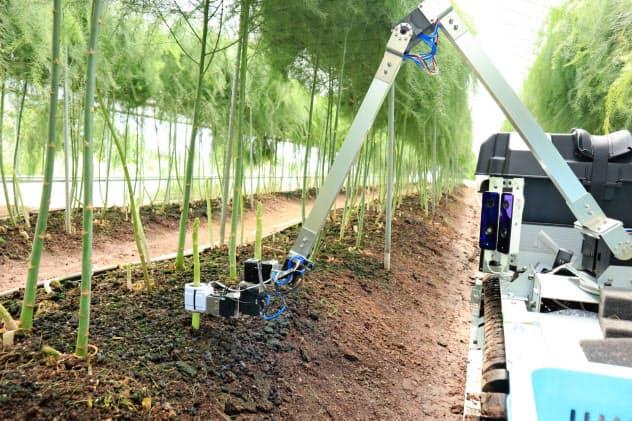 アスパラガスの長さや穂先などをみて収穫時期を判断する