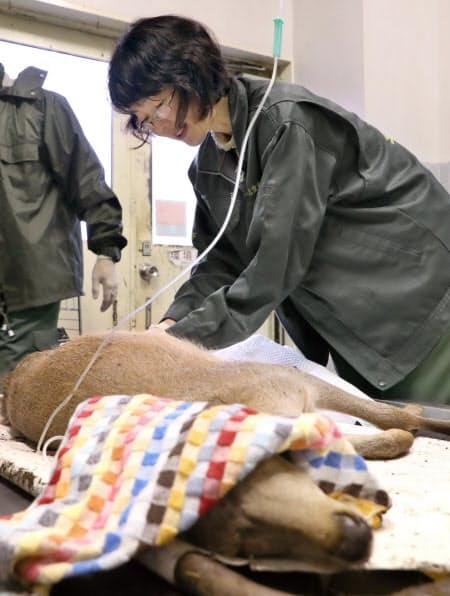 骨折した鹿を治療する獣医師の丸子理恵さん=松浦弘昌撮影