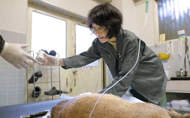 けがをした鹿を治療する獣医師の丸子理恵さん(奈良市の奈良の鹿愛護会)