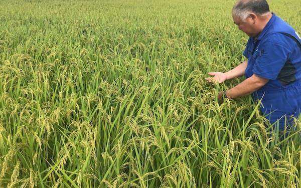 コシヒカリより割安な銘柄の輸出が多い(収穫前のキヌヒカリ、新潟市)