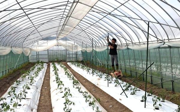 高齢者の臨時職員が働くハウスでは試験的にトマトを栽培。今後はハーブなどを植える