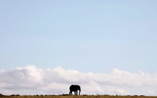 ケニアのマサイマラ国立保護区を歩くゾウ=ロイター