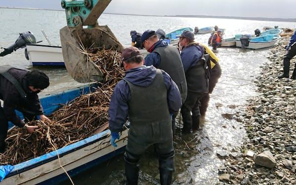 「松川浦の青ノリ生産を守れ」と、地元漁業者が一丸で取り組む(11月18日)