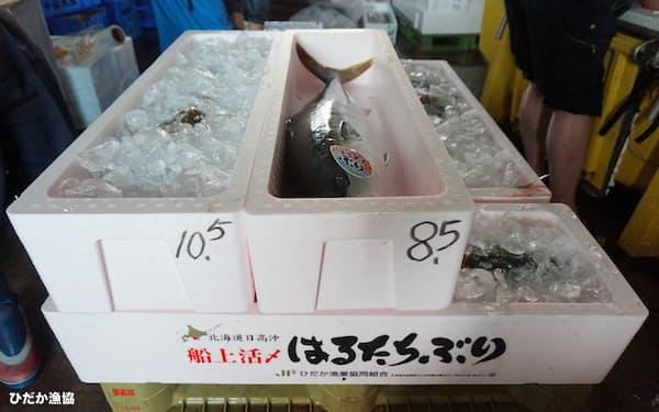 船上で血抜き等の処理をされて箱詰めされたブランドブリ(北海道新ひだか町のひだか漁協)