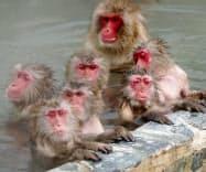 露天風呂に漬かり気持ち良さそうに体を温めるニホンザル(1日、北海道函館市の市熱帯植物園)=共同