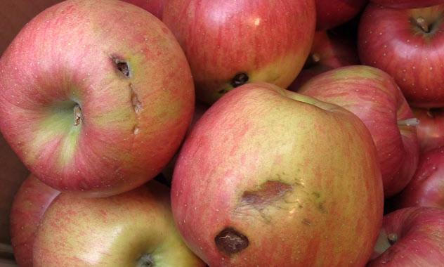 台風19号の風で傷がついたリンゴ(10月、東京都渋谷区)
