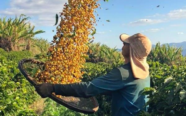 コーヒー生産においては労働コストがもっとも高い