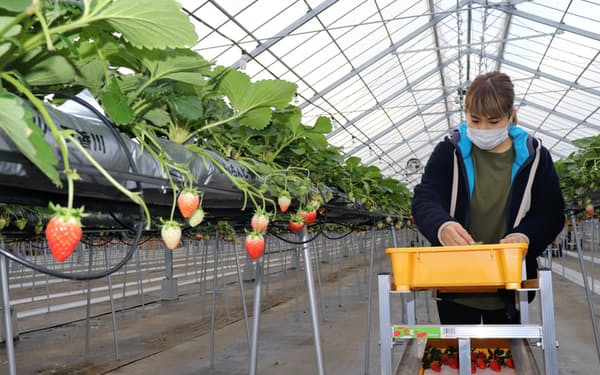 あぐりぼんが栽培する女峰は甘みと酸味のバランスの良さが特徴(4日、香川県三木町)